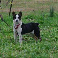 Adopt A Pet :: Syd - CHESTERTOWN, MD