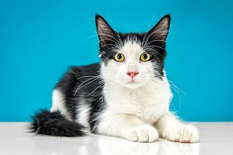 Domestic Shorthair Kitten for adoption in Chandler, Arizona - Mopsy
