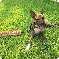 Adopt A Pet :: Uma - Laredo, TX