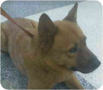 Chow Chow/Shepherd (Unknown Type) Mix Dog for adoption in Riverside, California - Bubba