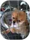 Pomeranian Dog for adoption in Garden Grove, California - Stepper