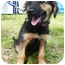 Photo 4 - Shepherd (Unknown Type) Mix Puppy for adoption in Detroit, Michigan - Vanna-Pending
