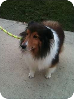 Sheltie, Shetland Sheepdog Dog for adoption in Hilliard, Ohio - Joey