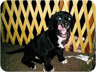 Labrador Retriever/Border Collie Mix Puppy for adoption in all of, Connecticut - Tippy