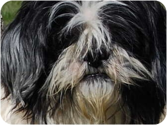 Lhasa Apso Dog for adoption in North Judson, Indiana - Isabella