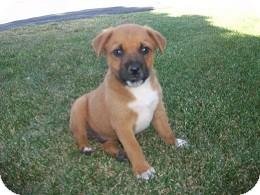 Retriever (Unknown Type)/Border Collie Mix Puppy for adoption in Tustin, California - Junior