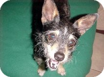 Terrier (Unknown Type, Small) Mix Dog for adoption in Las Vegas, Nevada - Little Thing - N