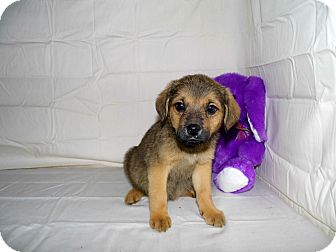German Shepherd Dog/Labrador Retriever Mix Puppy for adoption in Bel Air, Maryland - Jaycee