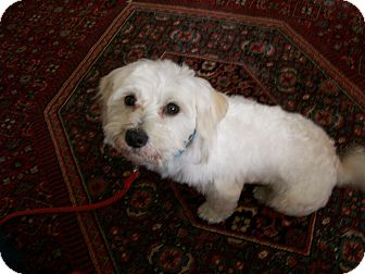 Maltese Mix Dog for adoption in Mt. Prospect, Illinois - Augie