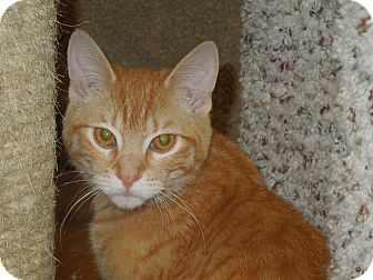 Domestic Shorthair Cat for adoption in Medina, Ohio - Oliver