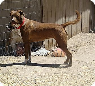 Boxer/Australian Shepherd Mix Dog for adoption in Pie Town, New Mexico - MARI