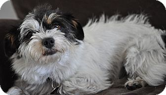 Shih Tzu Mix Dog for adoption in Irvine, California - Alexi-WATCH MY VIDEO!!!