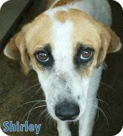 Hound (Unknown Type) Mix Puppy for adoption in Georgetown, South Carolina - Shirley