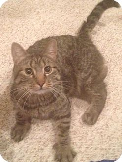 Domestic Shorthair Cat for adoption in Des Moines, Iowa - Max