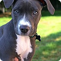Adopt A Pet :: Shelby - Reisterstown, MD