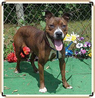 Boxer/Labrador Retriever Mix Dog for adoption in Marietta, Georgia - JUBILEE