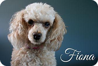 Poodle (Miniature) Mix Dog for adoption in Toronto, Ontario - Fiona