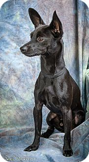 Terrier (Unknown Type, Small)/Miniature Pinscher Mix Puppy for adoption in Anna, Illinois - PHARAOH