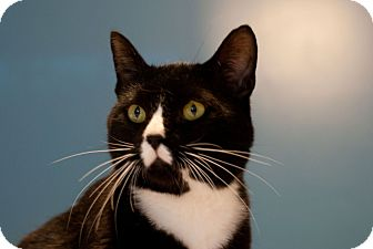 Domestic Shorthair Cat for adoption in Huntsville, Alabama - Noah