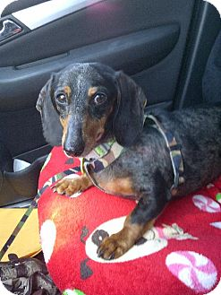 Dachshund Dog for adoption in Toronto, Ontario - Jack