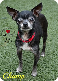 Chihuahua Mix Dog for adoption in Youngwood, Pennsylvania - Champ