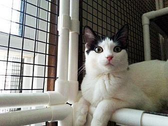 Domestic Shorthair Cat for adoption in Chicago, Illinois - Peanuts, the Aspiring Ambassador