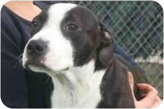 American Pit Bull Terrier Puppy for adoption in Encinitas, California - Cookie
