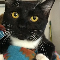 Domestic Shorthair Cat for adoption in Chattanooga, Tennessee - Magik (toothless)