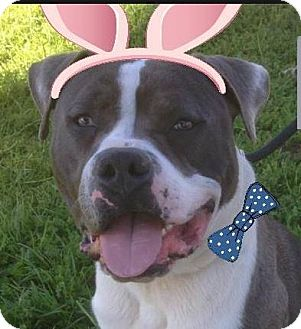 American Pit Bull Terrier Mix Dog for adoption in Red Bluff, California - CHAVO