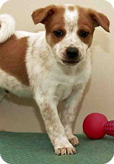 Australian Cattle Dog Mix Puppy for adoption in Gahanna, Ohio - ADOPTED!!!   Shia