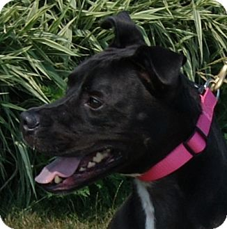 Boxer/Labrador Retriever Mix Dog for adoption in Monroe, Michigan - Jax