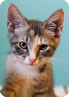 Domestic Shorthair Kitten for adoption in East Hartford, Connecticut - Maple (in CT)