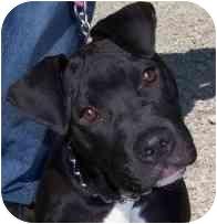 American Pit Bull Terrier Puppy for adoption in Kansas City, Missouri - Eli