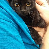Domestic Shorthair Kitten for adoption in Levelland, Texas - Deb