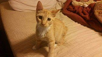 Hemingway/Polydactyl Cat for adoption in Bronson, Florida - Daisy