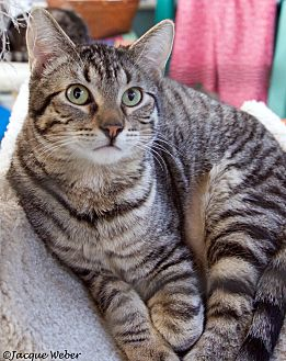 Domestic Shorthair Cat for adoption in St Louis, Missouri - Wyatt
