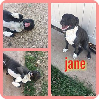Pit Bull Terrier Mix Dog for adoption in Snyder, Texas - Jane