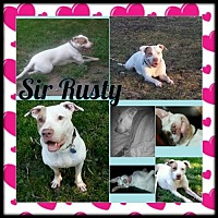 Pit Bull Terrier Dog for adoption in Fulton, Missouri - Sir Rusty - Michigan