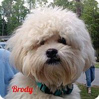 Adopt A Pet :: Tinton Falls NJ - Brody - New Jersey, NJ