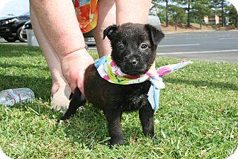 Australian Shepherd/Labrador Retriever Mix Puppy for adoption in South Dennis, Massachusetts - Sirius
