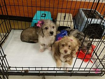 Poodle (Miniature)/Terrier (Unknown Type, Medium) Mix Puppy for adoption in Los Angeles, California - TerriPoo Puppies
