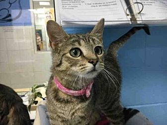 Domestic Mediumhair Cat for adoption in Canfield, Ohio - JANET