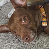 Adopt A Pet :: Arnie - Pearland, TX