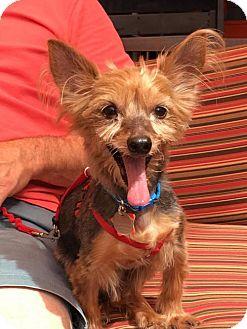 Yorkie, Yorkshire Terrier Dog for adoption in Goodyear, Arizona - Hershey