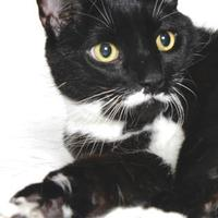 Domestic Shorthair/Domestic Shorthair Mix Cat for adoption in Gloucester, Virginia - OREO
