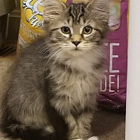 Adopt A Pet :: Maggie May - Millersville, MD