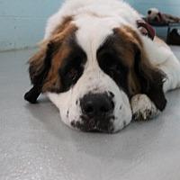 Adopt A Pet :: Brinley - Muskegon, MI