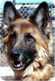 German Shepherd Dog Dog for adoption in Colorado Springs, Colorado - Sasha