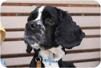 Cocker Spaniel Mix Dog for adoption in Mentor, Ohio - Mickey 4yr Adopted