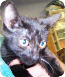 Domestic Shorthair Kitten for adoption in Rapid City, South Dakota - Odale 'Of the valley'